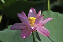Lotus de sud d'hun Images stock