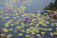 Lotus in de vijver stock afbeeldingen