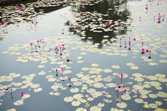 Lotus in de vijver royalty-vrije stock afbeelding