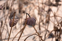 Lotus in de winter royalty-vrije stock afbeeldingen