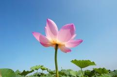 Lotus in de zomer Royalty-vrije Stock Afbeeldingen