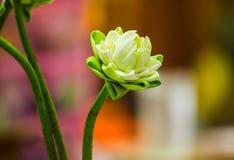 Lotus decorate Stock Image