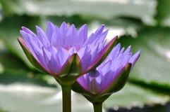 Lotus deux dans l'éclairage arrière Photographie stock libre de droits