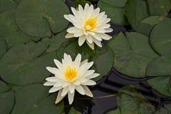 Lotus deux fois jaune Images stock