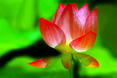 Lotus Divine. Bright and beautiful lotus flower in the pond Stock Photos