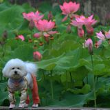 Lotus with the dog.  Royalty Free Stock Photography