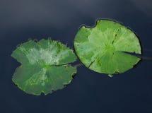 Lotus doorbladert Royalty-vrije Stock Foto
