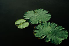 Lotus doorbladert Stock Afbeeldingen
