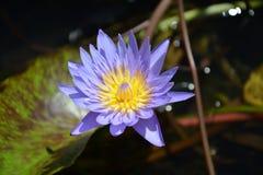 Lotus dosyć póżno Fotografia Royalty Free