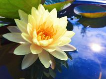 Lotus. Dotted across the ponds lotus flowers and water lilies are coming into bloom Stock Image