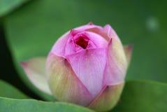 Lotus doux images stock