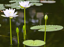 Lotus with dragonfly Royalty Free Stock Images