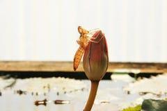 Lotus&Dragonfly stockbild