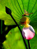 Lotus & dragonfly2 Royalty Free Stock Images
