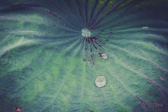 Lotus. Drops of water on a lotus leaf Royalty Free Stock Images