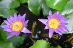 Lotus due fiori Fotografie Stock Libere da Diritti