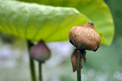 Lotus dying,The life cycle of a lotus Royalty Free Stock Images