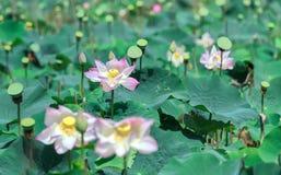 Lotus dying to lotus seeds royalty free stock photo