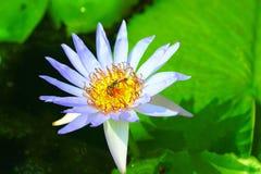 Lotus e abelhas Fotografia de Stock Royalty Free