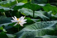 Lotus e ape Fotografia Stock Libera da Diritti