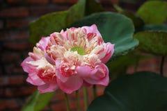 Lotus e folha dos lótus fotografia de stock royalty free