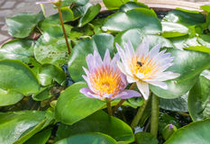Lotus e inseto Imagem de Stock Royalty Free