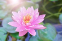 Lotus e luz da manhã fotos de stock