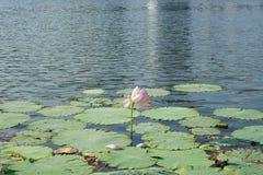 Lotus e petalo Immagini Stock