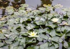 Lotus e tartaruga in uno stagno Immagini Stock Libere da Diritti