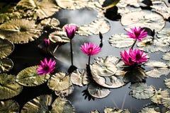 Lotus e waterlilies durante il tramonto cambodia fotografie stock