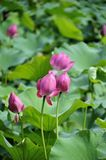 Lotus in early puberty. Pink lotus in early puberty Stock Photo