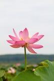 Lotus East, selten Lotus Oriental Lizenzfreie Stockfotos