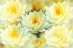 Lotus ed i precedenti gialli deboli fotografia stock libera da diritti