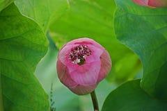 Lotus, een bloem vertegenwoordigt aan godsdienst en vele naties royalty-vrije stock foto's