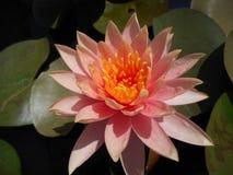 Lotus in een kunstmatige vijver stock fotografie