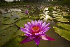 Lotus in een meer Royalty-vrije Stock Afbeeldingen