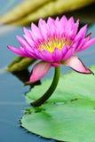 Lotus in een vijver Royalty-vrije Stock Foto
