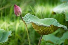 Lotus in een vijver Stock Afbeeldingen