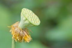 Lotus in een vijver Royalty-vrije Stock Foto's