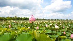 Lotus in een vijver Stock Foto's