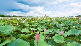Lotus in een vijver Stock Afbeelding