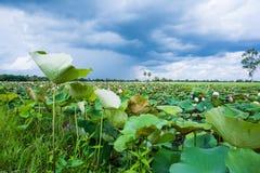 Lotus in een vijver Royalty-vrije Stock Fotografie