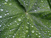 Lotus effect. Photo of raindrops on green leaf Stock Image