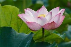 Lotus - el sentido de la aclaración Fotos de archivo libres de regalías