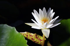 Lotus eller svart bakgrund för näckros från Thailand Fotografering för Bildbyråer