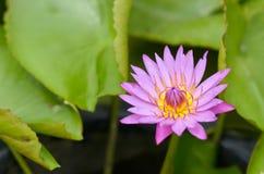 Lotus em Tailândia Imagens de Stock Royalty Free