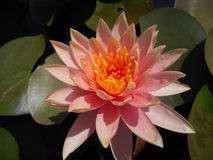 Lotus em uma lagoa artificial fotografia de stock
