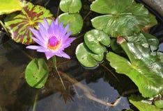 Lotus em uma lagoa claro fotos de stock royalty free