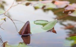 Lotus emerge en el agua Imágenes de archivo libres de regalías