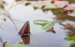 Lotus emerges on water. The Buddhist people would planted lotus for worship the Buddha Royalty Free Stock Images